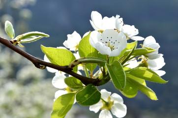 Blüten des Birnenbaumes - Blütezeit in Südtirol