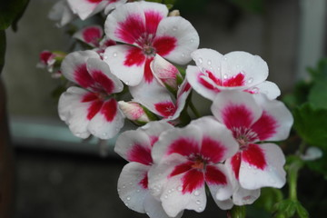 fiore gocce