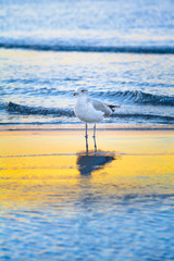 Seabird in Water at Sunset of Baltic Sea / Seagull stands at shallow water of sea, reflection on yellow sunny range (copy space)