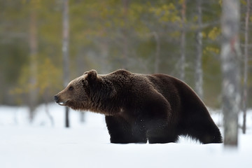 brown bear in snow. side view of brown bear on snow.
