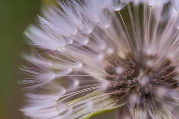 Macro shot of a dandelion seeds