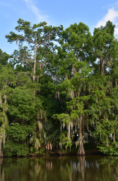 Cypress Trees Growing in the Bayou Draped in Spanish Moss