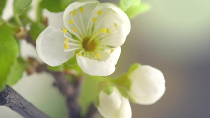 Fotoväggar - Plum tree flowers blooming closeup. Gardening concept. Blossoming plum tree. Time lapse. 4K UHD video 3840X2160