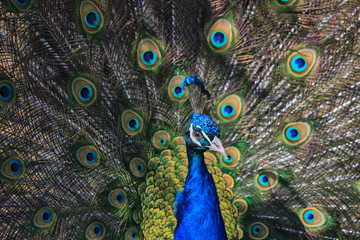 Portrait of a beautiful peacock bird