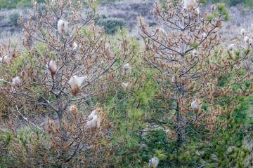 Thaumetopoea pityocampa. Pinos con bolsas de seda de orugas Procesionaria del Pino. Plaga.