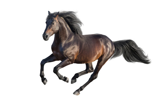 Bay stallion run gallop isolated on white