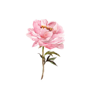Single pink flower. Peony. Floral greeting card. Watercolor pink flower for wedding invitation decor.