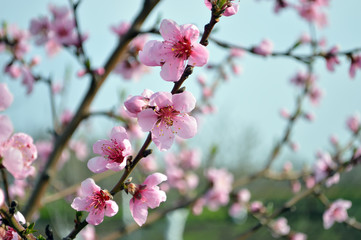 Beautiful branch of peach with blooming flowers. Medium plan