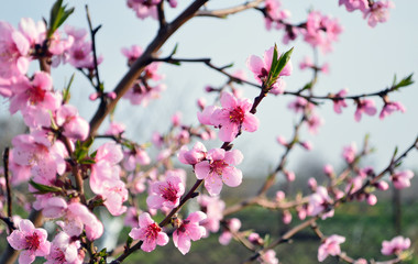 Beautiful branches of peach with pink  blooming flowers