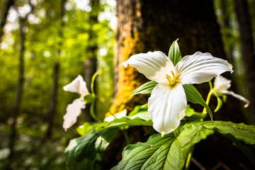 Spring trillium wildflower blooming beautiful on the forest floor against a lush back drop of leaves and trees