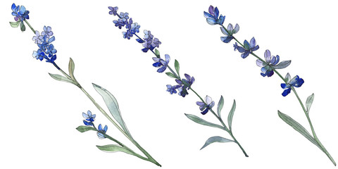 Purple lavender floral botanical flower. Watercolor background illustration set. Isolated lavender illustration element.