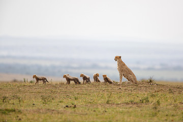 This cheetah mother had 6 cubs she was skinny and looking for food in the Masai Mara National Park in Kenya Wall mural
