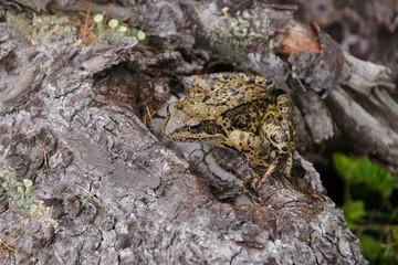 Brown frog (Rana temporaria) in the rain on lake Duisitzkar, Styria - Austria