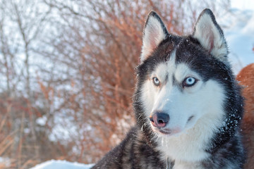 Dog sit on snowy cliff above coast winter river. Portrait Siberian husky dog with blue eyes, black and white coat color. Winter landscape