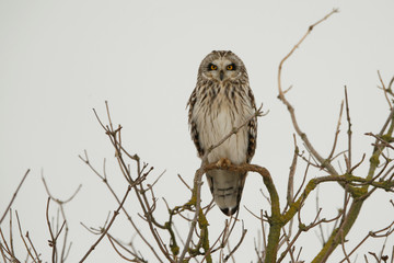 Short-eared owl (Asio flammeus) sits on a tree branch in Niergnies