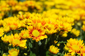 soft focus yellow chrysanthemum in the garden.