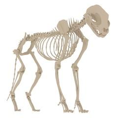 Cat Skeleton Anatomy. 3d rendering