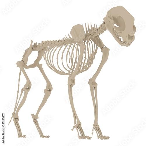 Cat Skeleton Anatomy  3d rendering