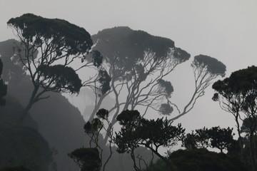 Fototapeta duże drzewa na zboczu lasu deszczowego we mgle o poranku obraz