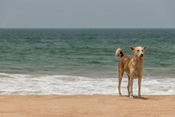 Streuner, verwildeter Hund am Agonda Beach in Goa, Indien