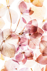 pink hydrangea flowers isolated on the white background