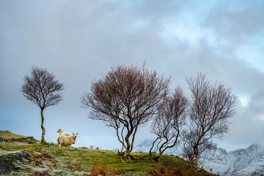 Sheep with bare trees standing on mountain