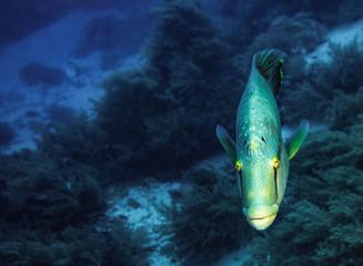 Napoleon fish swimming in red sea