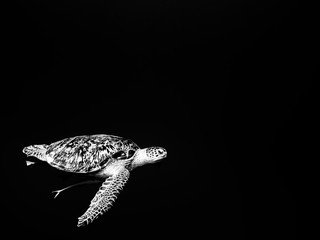 Sea turtle swimming underwater in red sea