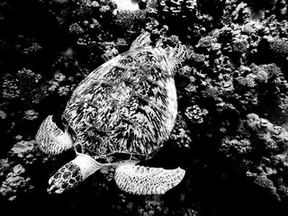 Sea turtle swimming in red sea