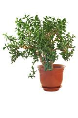 Money Tree. Home plant of Crassula on a white isolated background.