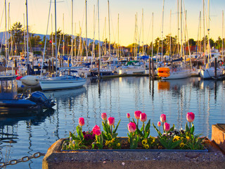 Tulips decorate the seaside walk in Sidney, Vancouver Island, British Columbia Fototapete