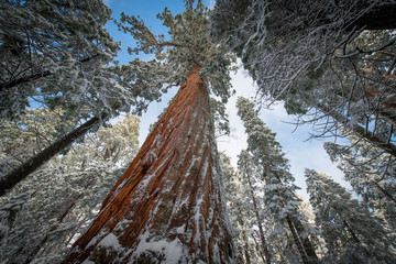 Tall Sequoias in Winter