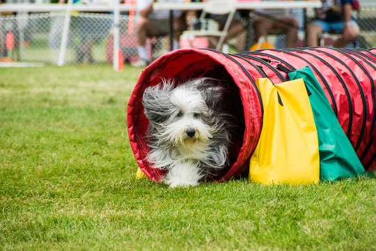 Bearded collie in agility competition