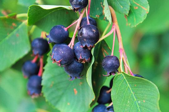 Clusters of ripe saskatoon berries hanging in summer