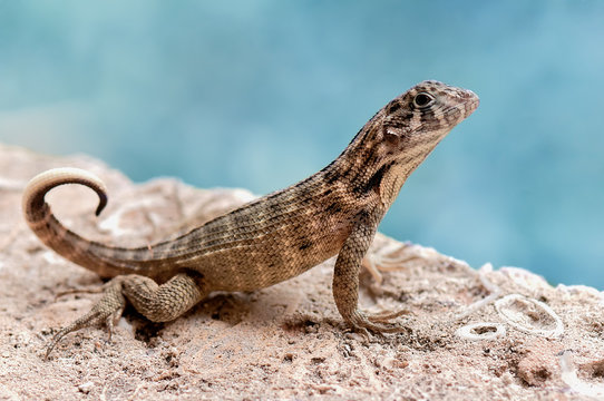 Close up of agama on rock