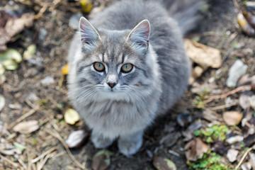 Gray street cat closeup