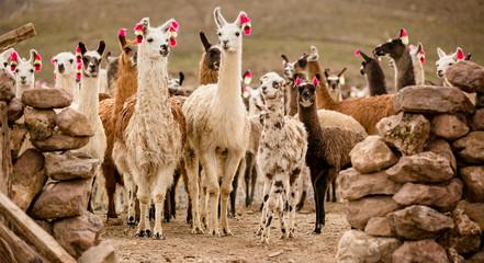 Tuinposter Lama lama herd