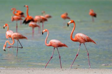 Flamingo couple walks in Yucatan nature reserve