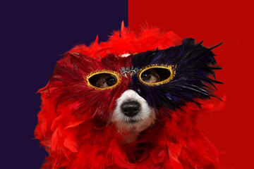 FUNNY DOG IN MARDI GRAS OR CARNIVAL WEARING ARED FEATHER BOA AND  MASK. ISOLATED STUDIO SHOT AGAINST WHITE COLORED PURPLE AND RED BACKGROUND.