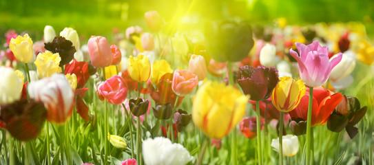 Fotoväggar - tulpenblüte in hellem licht