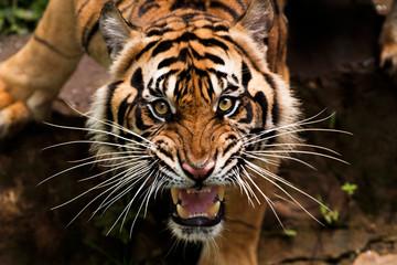 Fotorolgordijn Tijger angry sumatran tiger