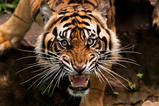 angry sumatran tiger