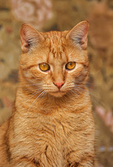 portrait of a beautiful red cat with an expressive look