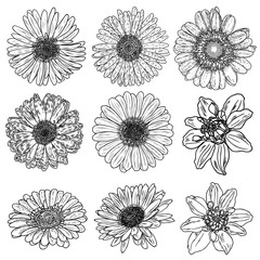 Daisy floral botany set sketch. Daisy flower drawings. Black and white line art isolated on white backgrounds. Hand drawn botanical illustrations. Vector.