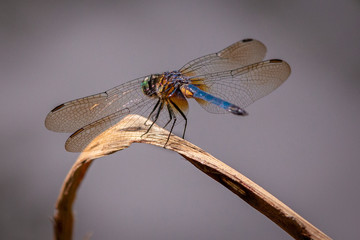 Dragon flies of South Carolina