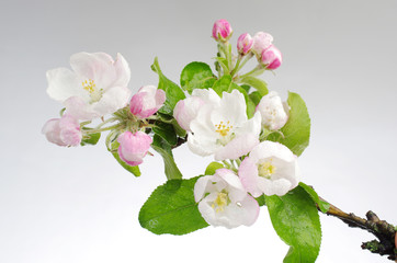 Pink flowers of apple tree on a gray background
