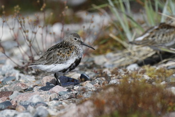 Dunlin (Calidris alpina), a medium sized sandpiper and shorebird standing sidewise with plants in the background