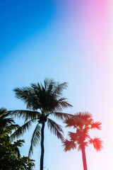 Palm trees silhouette against blue pink sky. Filter toned effect. Copy space