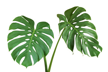 Green Leaves of Monstera Plant Isolated on White Background