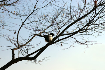 A magpie perched on a branch.